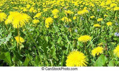 Dandelion field and bumblebee