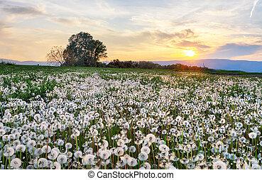 Dandelion field at sunset