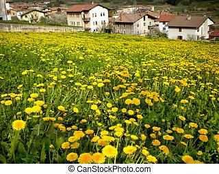 Dandelion field background