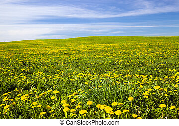 Field on which yellow dandelions grow (A spring season)