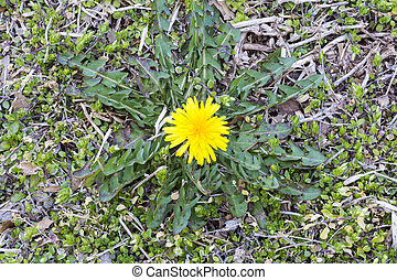 First dandelion at early spring.