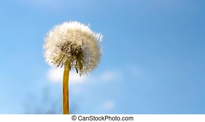 Dandelion flower and flying seeds on blue sky 1080p HD video