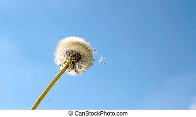 Dandelion flower and flying seeds on blue sky