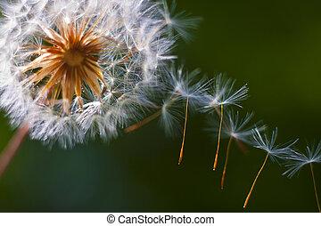 Dandelion flower. Close-up