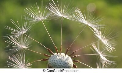 Dandelion flower, flower, inflorescence, seeds, movement,...