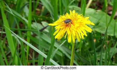 Dandelion Flower HD