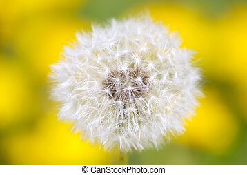 dandelion flower in front of yellow background