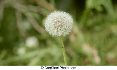 Dandelion flower in the park
