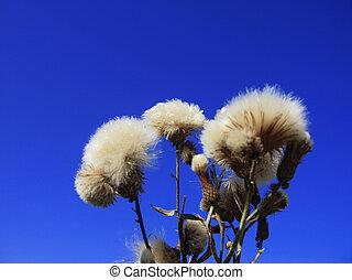 Dandelion flower on a background of the blue sky