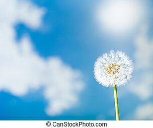 dandelion flower on blue sky background