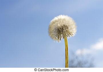 Dandelion flower on blue sky