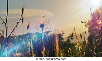 dandelion flower on summer field in sunset 4k