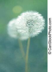 Dandelion flower. Shallow depth of field