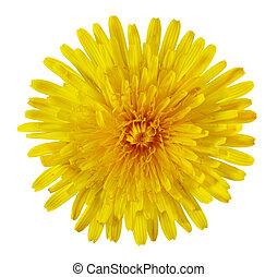Dandelion Flower - Single Taraxacum officinale dandelion...