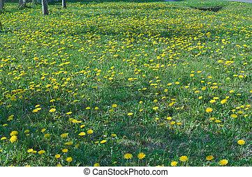 Dandelion flowering in field at spring