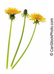 Dandelion - Flowers and a bud of dandelion (Taraxacum ...