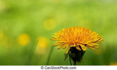 dandelion flowers close up shot