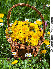 Dandelion Flowers collected in a basket