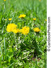 Dandelion flowers in green grass. Spring time