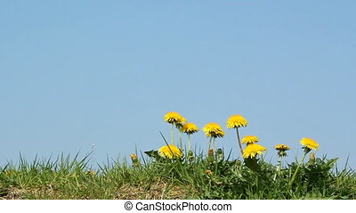 Dandelion flowers in summer