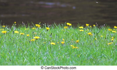 Dandelion flowers on the lawn with flowing river