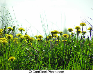 Dandelion flowers - Perspective shot of yellow dandelion...