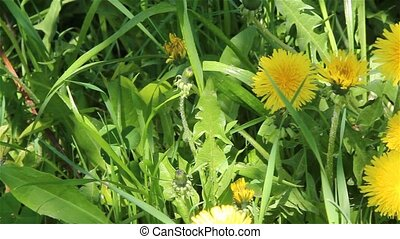 Dandelion flowers slide - A summer view of yellow...