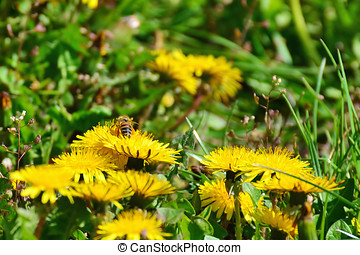 Dandelion flowers with bee