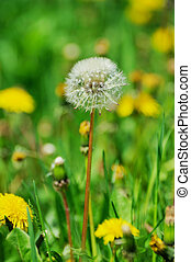dandelion flowers with leaves in green grass