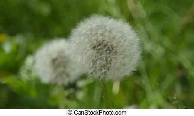 dandelion fluffy ball close-up