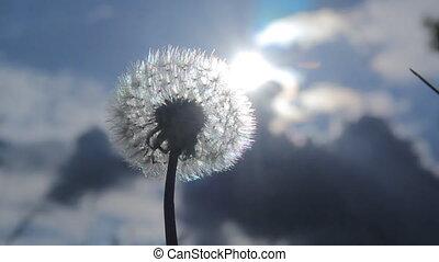 Dandelion Fluffy Sky