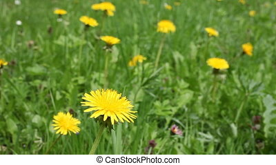 Dandelion - dandelion on meadow