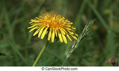 Dandelion. - HD 1080 close up shot of yellow dandelion on...