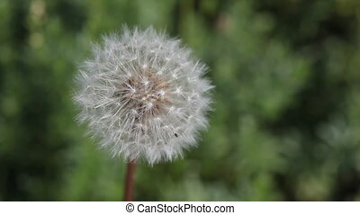 Dandelion - HD footage of a dandelion moving in the breeze...