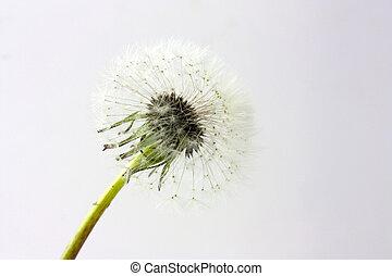dandelion head on grey