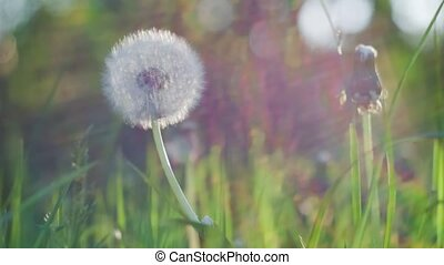 Dandelion heard slightly moved by the wind breeze, seeds falling down, sunlight flares and round bokeh flickering in background, close up, vintage