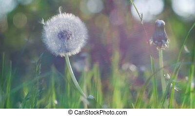 Dandelion heard slightly moved by the wind breeze, seeds...