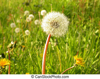 Dandelion in a field of weeds at a park in Portland, Oregon
