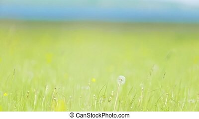 Dandelion in a green blooming meadow in sunny day, close up