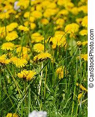dandelion in a meadow