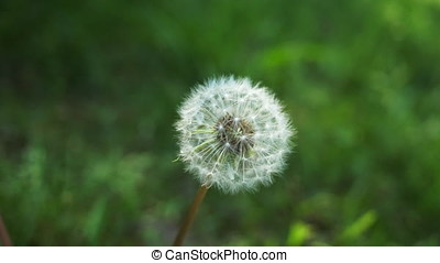 Dandelion in Breeze - Dandelion in seed swaying in the...