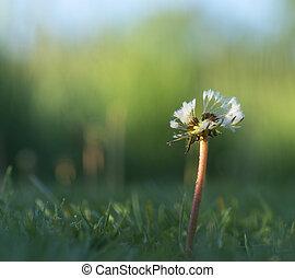 Dandelion in early morning light