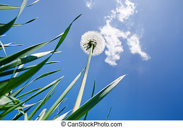 dandelion in green grass and blue sky