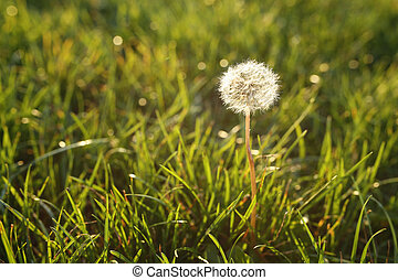 dandelion in lush grass in the rays of the setting sun