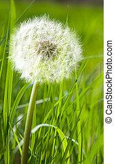 Dandelion in spring green grass