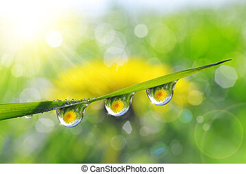 Dandelion in the drops of dew on the green grass. Nature...
