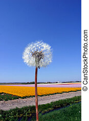 Dandelion in The Netherlands.