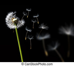 dandelion in the wind on black background
