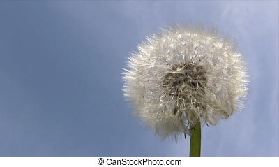 Dandelion in the Wind - Canon HV30. HD 16:9 1920 x 1080 @...