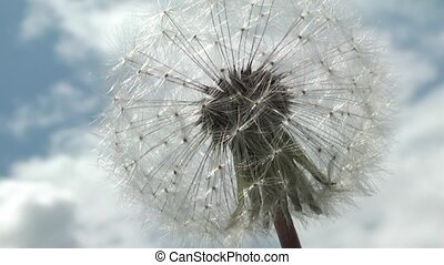 Dandelion in the woods in the spring.